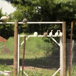 Guinea Hens for natural pest control